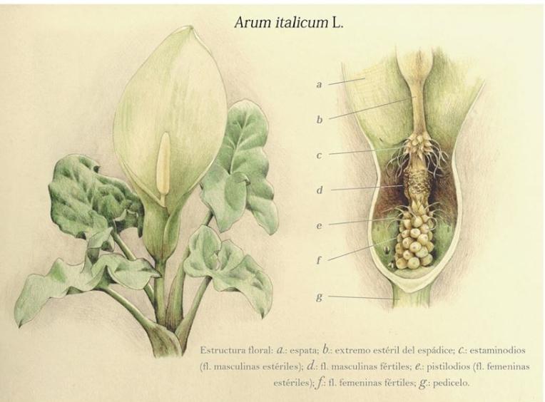 Arum italicum (bolígrafo y lápices de colores)